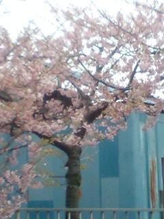 いくら寒桜とはいえ
