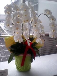 胡蝶蘭のお値段